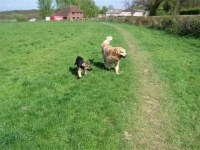Two dogs out for walks in one of walking paddocks.