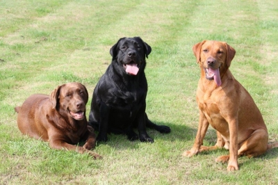 Labradors Galore!!