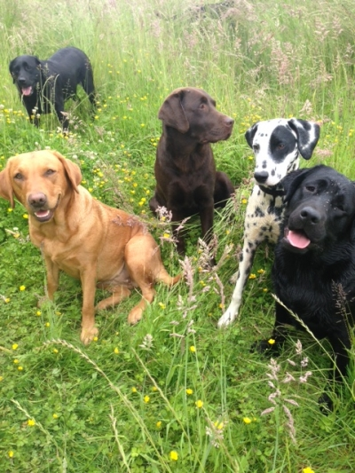 Labradors and a Spotty!!!