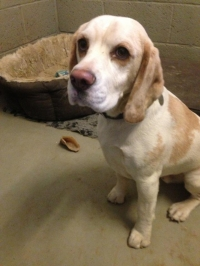 Alfie Beagle, He is such a good boy!!