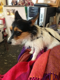 Pippin...The smallest dog we have come to stay at Benedict Farm!