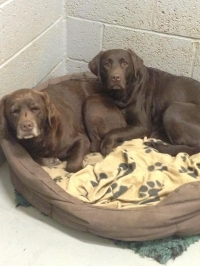 Cookie and Bella, two gorgeous chocolate labradors, such good girls and a credit to their owners.