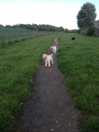 If your dog is Mr or Mrs Sociable then he/she might be able to join in one of our supervised group walks just like these cockers, Caramella and Baggio!