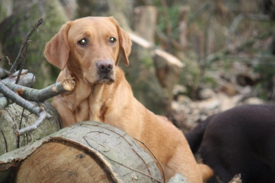 Annie likes adventuring on the log piles!
