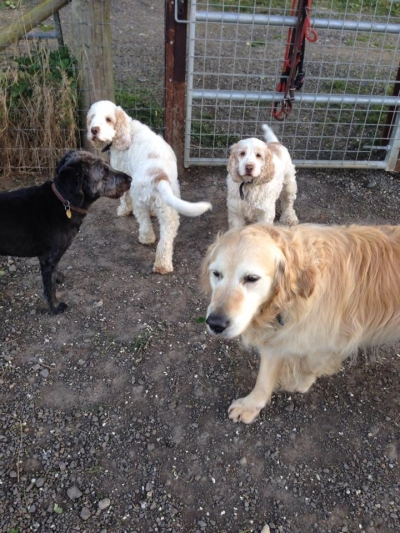 Star the miniture labradoodle, Caramella and Baggio the Cockers and Molly the Golden Retriever all enjoying their group walk.