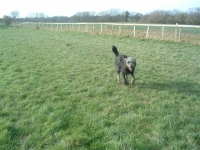 Misty stretching her legs after all that kennel driving in part of the spacious farm land we have for them to enjoy.